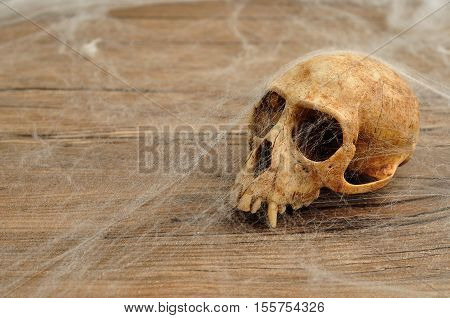 Vervet monkey skull covered with cobwebs on a wooden background