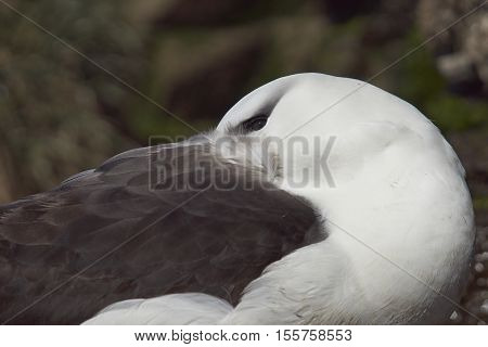 Black-browed Albatross (Thalassarche melanophrys) with its head tucked under its wing. Saunders Island in the Falkland Islands.