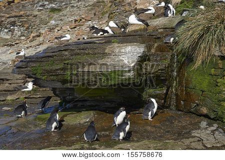 Rockhopper Penguin (Eudyptes chrysocome) having a shower under a waterfall on the cliffs of Saunders Island on the Falkland Islands. Black-browed Albatross (Thalassarche melanophrys) nesting on the cliffs above.