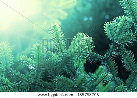 Fir green branch in nature