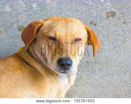 Indian Pariah Dog Looking At The Camera -relaxed Mood.