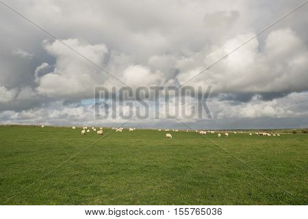A lush green grass field with a flock of sheep grazing under a cloudy sky.