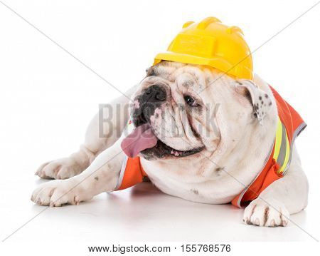 working dog wearing construction vest on white background