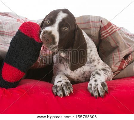 german shorthair pointer puppy chewing on owners toes in bed
