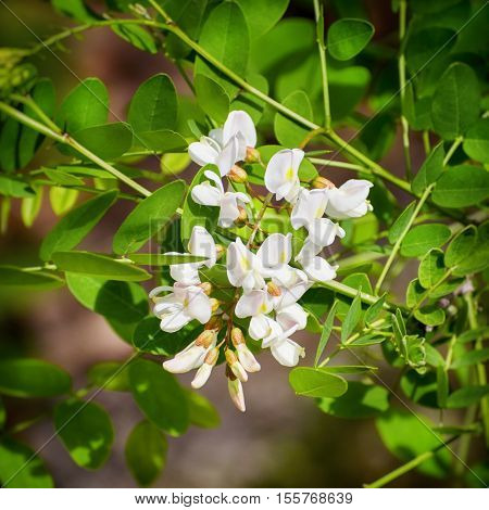 Spring White Wistaria Flower Blossom in Nature