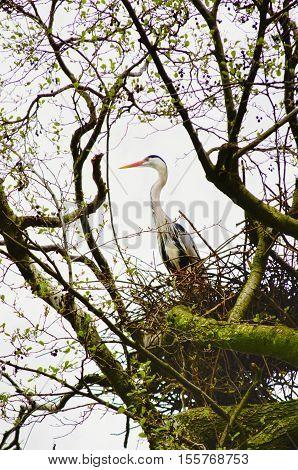 Photo of the Single Heron at Nest Springtime