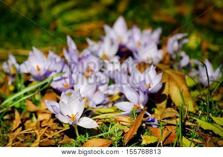 Photo of the Crocus Flower Field in Sunny Day