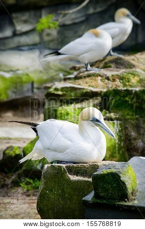 Photo of the Northern Gannet Birds at Stone