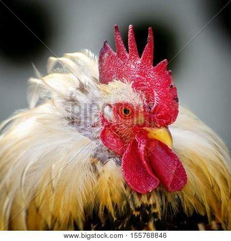 Photo of the Bright Rooster Portrait Over Grey Background