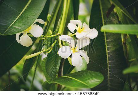 White Plumeria and Frangipani Blossom in Tropic