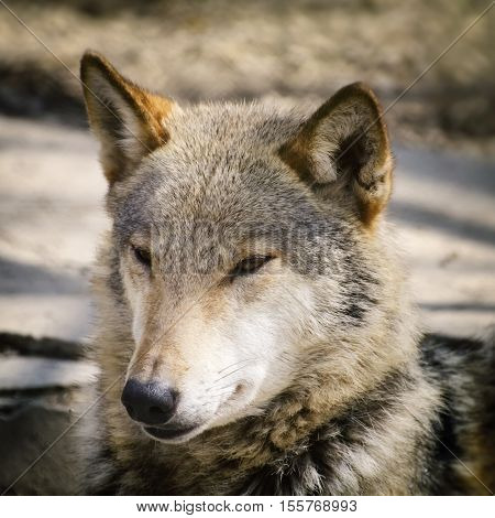 Photo of the Portrait Single Wild Wolf