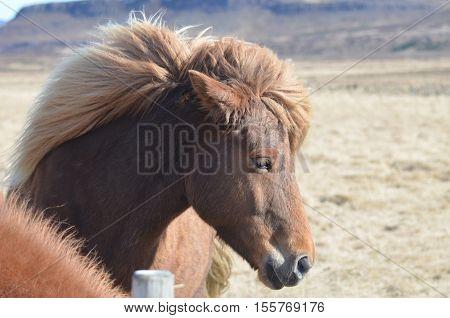 Beautful windblown mane of a chestnut Icelandic horse.