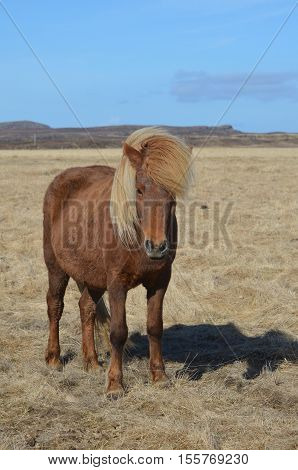 Beautiful palomino horse standing in a field in Iceland.