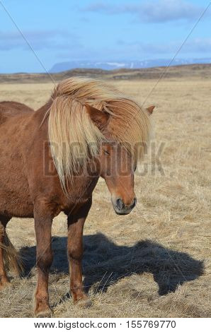 Chestnut horse with a wind blown blonde mane. poster