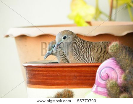 Two Wild Cute Zebra Dove Relaxing Side By Side on a Brown Ceramic Planter