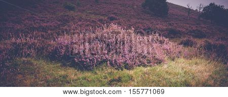 Nice purple heather blossoms in wild nature