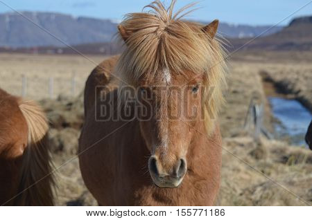 Gorgeous horse's mane wind blown in Iceland. poster