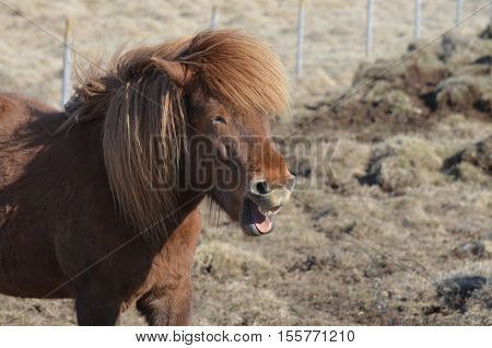 Icelandic horse grinning in a field in Iceland.