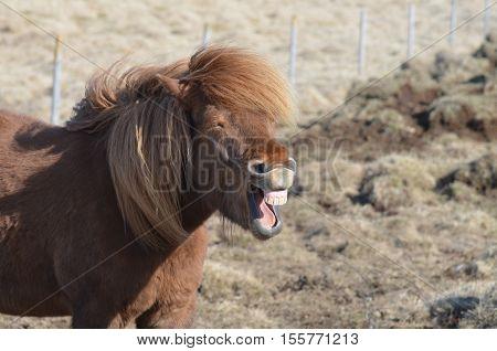 Chuckling chestnut Icelandic horse in a field.