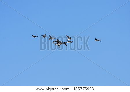 A group, flock of Bean geese in migration. Clear blue sky in April.