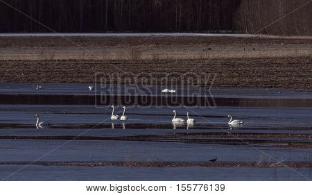 A flock of whooper swan rest during the migration. Field, pond and water.