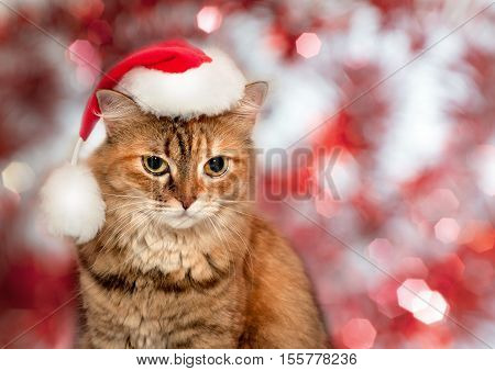 Christmas Cat. Cat Wearing A Santa Hat
