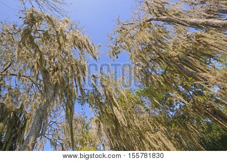Looking up into the Spanish Moss of the Santa Ana Wildlife Refuge in Texas