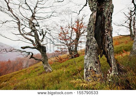 Hollow Of Beerch Tree At Autumn Forest On Mountains.