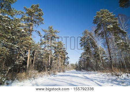 Russia Novosibirsk region snow-covered road in a pine forest.