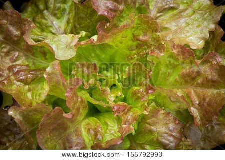 Close up of heirloom lettuce variety - drunken woman fringed head
