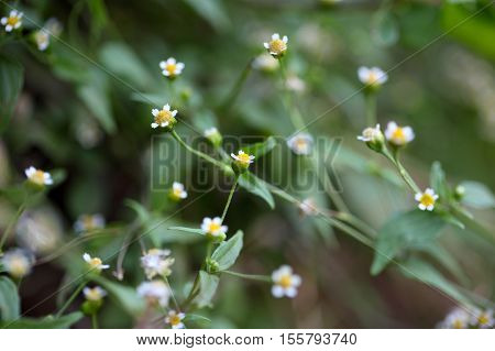 Guasca flowers (Galinsoga parviflora) a wide distributed invasive species.