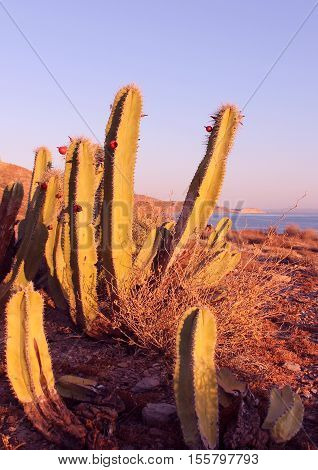 Before the sunset at Isla San Marcos, Sea of Cortez, Mexico. Fruiting cactus (pitahaya)