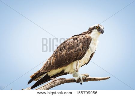Osprey perched on a branch up close