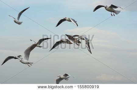 Seagulls flying with open wings in blue sky.