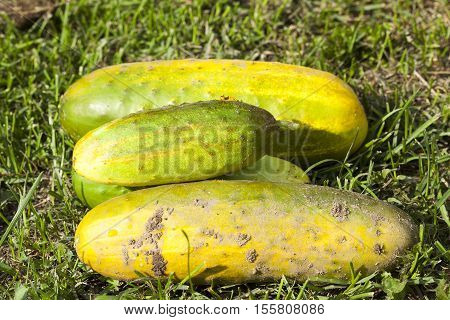 put together the old large cucumbers yellowed over time and used to produce seeds. agricultural field.