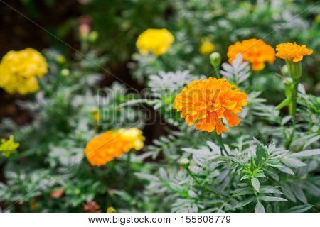 Yellow Marigold flower blossoming in blur background, Scientific name as Tagetes spp