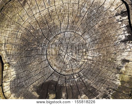 photographed close-up of the old cut tree trunk, broken after the storm