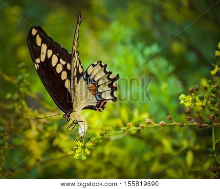 Black and yellow swallowtail butterfly with green leaves blurred in background