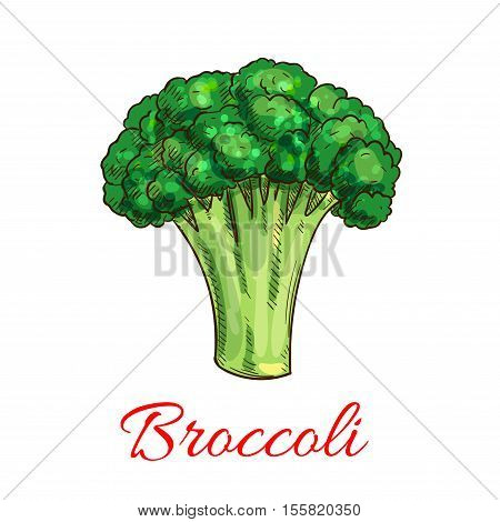 Broccoli. Vector isolated sketch icon of broccoli vegetarian vegetable. Vegan green lettuce or cabbage product for veggie grocery shop emblem, product tag, label design