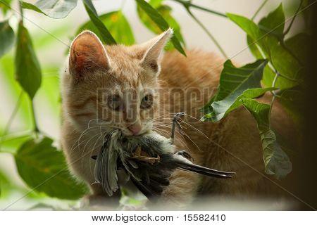 Felis Catus, Cat With A Bird In A Teeth.