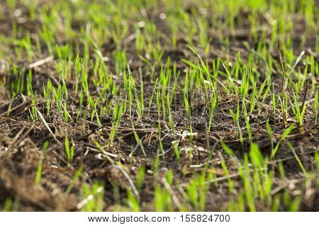 photographed close up young grass plants green wheat growing in the field of agriculture, Agriculture
