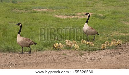 A family of two adult Canadian geese and their goslings walking.