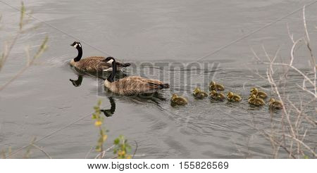 A family of two adult Canadian geese and eight goslings swimming in a river in Montana