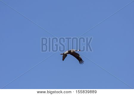 A common crane in migration. Clear blue sky in April.