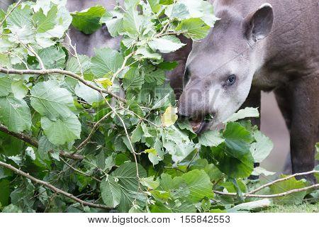 Tapir Eating Fresh Leaves