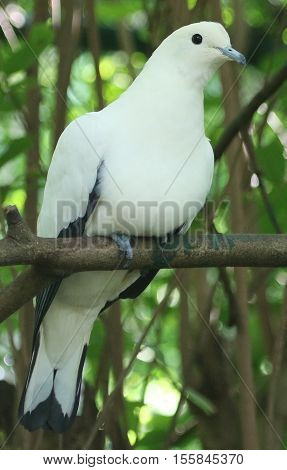 perching white and black Pied Imperial Pigeon, facing camera angled to the right, Thailand