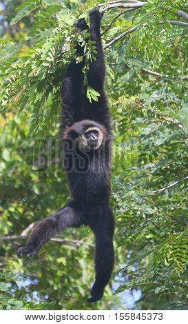 Black-handed Gibbon hanging by its arms from a tree branch, Thailand