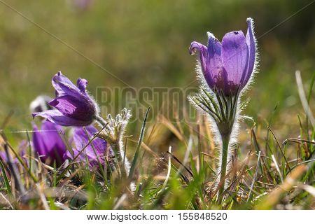 Purple pasque flowers in springtime / Hairy fuzzy pasque-flowers in soft purple pastel colors in springtime