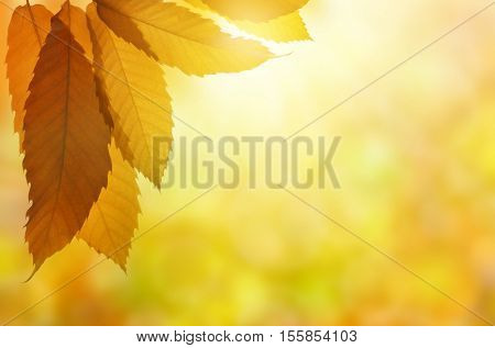 Autumn leaves of sweet chestnut tree (Castanea sativa) on natural blurred background.