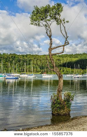 Yachts moored on Lake Windermere at Bowness with a spindly tree growing with its roots in water close to the shore.